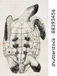 Loggerhead Sea Turtle Tummy...