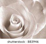 Soft Sepia Rose