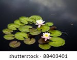 Waterlily Or Lilly Pads In Pon...