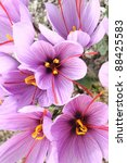 Beautiful Purple Saffron Crocu...
