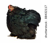 Black Chicken Of Cochin China...