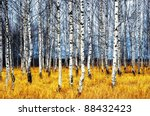 A Autumn Birch Grove Among...