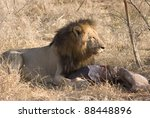 Male African Lion Feeding On...