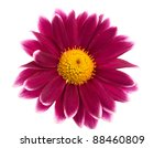 Chrysanthemum On White...