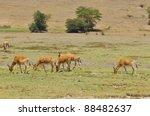 Small photo of Cokes Hartebeest. Coke's Hartebeest (Alcelaphus buselaphus cokii) or Kongoni is an antelope native to Kenya and Tanzania.