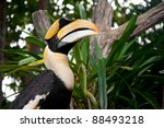 Great Hornbill  Buceros...