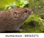 Field vole (Microtus agrestis) close up - stock photo