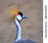beautiful crowned crane with... | Shutterstock . vector #88569829