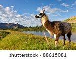 Llama at an idyllic mountain lake in the Rocky Mountains, Colorado. - stock photo