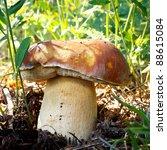 Boletus edulis mushroom (Porcini, Porcino, Cepe, Steinpilz). - stock photo