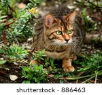 Stock photo a bengali special breed kitten about to pounce in a flowerbed 886463