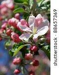 ������, ������: apple blossoms against blue