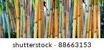 Blue Bamboo  Himalayacalamus...