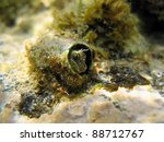 Small photo of Sphinx blenny fish, Aidablennius sphynx, hidden in a sea worm tube, Vermilion Coast, Roussillon, Mediterranean sea, France