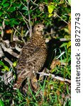 Wild Spruce Grouse, Banff National Park Alberta Canada - stock photo