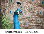 blue peacock with colorful... | Shutterstock . vector #88733521