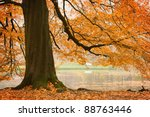 Stock photo old beech tree in autumnal park 88763446