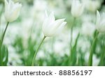 Bright Colorful White Tulip...