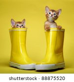 Stock photo abyssinian kittens age month 88875520