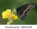 Black Swallowtail  Papilio...