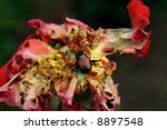 Japanese Beetle on remains of a multi-colored rose - stock photo