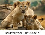 Stock photo two little lion cubs looking at something one has its tongue sticking out 89000515