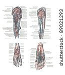 4 views of the human foot and... | Shutterstock . vector #89021293
