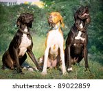 Hunter Dog English Pointer