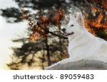 White Swiss Shepherd Dog In...