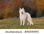 White Swiss Shepherd Dog In...