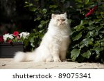Himalayan Cat In Seated Pose