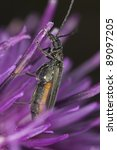Small photo of False blister beetle (Oedemeridae) feeding on thistle, extreme close-up