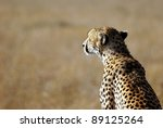 Image Of A Cheetah Watching...