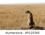 Image Of A Cheetah In Savanna...
