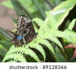 Blue Morpho Butterfly On Fern...