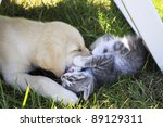 Stock photo puppy labrador playing with cat 89129311