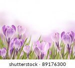 Spring Crocuses Flowers