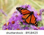 Beautiful Monarch butterfly feeding on purple asters.  Soft focus background - stock photo
