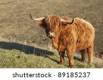 a highland cow standing on a... | Shutterstock . vector #89185237