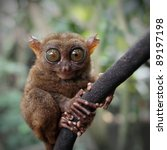 Small photo of Tarsier (Tarsius Syrichta), Bohol, Philippines