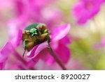 direct gaze of a green, metallic June beetle resting on small pink flowers.  Extreme macro with shallow dof - stock photo