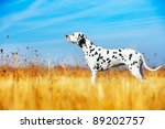 Stock photo beautiful dalmatian dog in a field 89202757