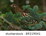 Spruce Grouse in a Pine Tree - stock photo