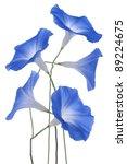 Stock photo studio shot of blue colored morning glory flowers isolated on white background large depth of 89224675