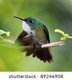 Small photo of Hummingbird White-chested Emerald (Amazilia brevirostris) - Asa Wright Nature Centre, Trinidad