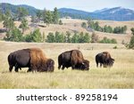 Grazing Buffaloes On Prairie I...