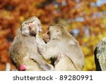 Two Baboons Engaged In Mutual...