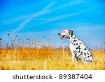 beautiful dalmatian dog in a... | Shutterstock . vector #89387404