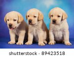 Stock photo yellow labrador retriever puppies on blue background 89423518