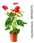 Blossoming Plant Of Anthurium...